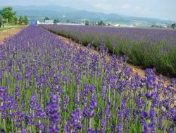 Japanese Travel Words: kankouchi - Hokkaido Lavendar Farm